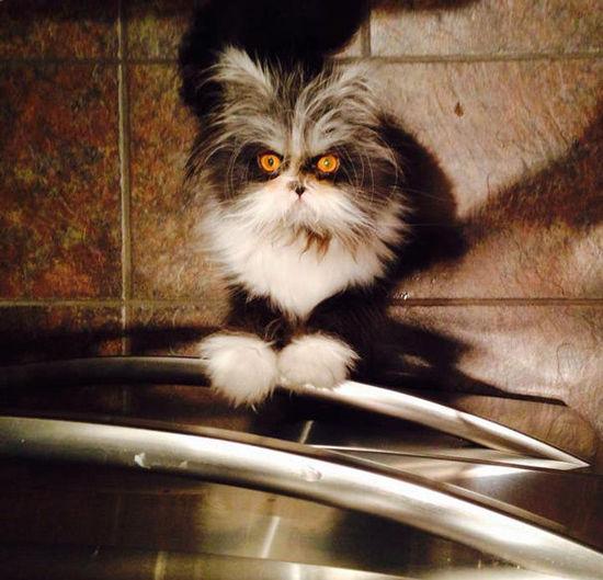 加拿大猫咪患多毛症 天生一张惊悚脸