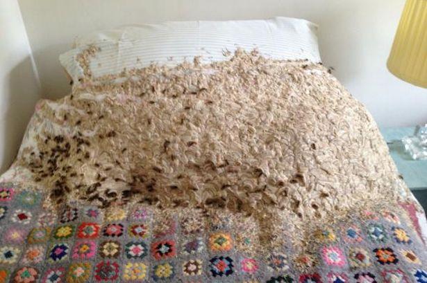 英国女子卧室闲置数月 床铺被5000黄蜂占领(图)