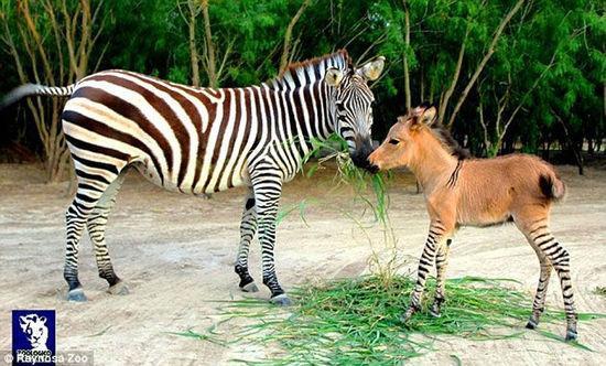 """墨西哥动物园斑马与驴交配产罕见""""斑驴""""(图)"""