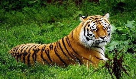 普京放生虎仔已适应野外环境 能够独立觅食