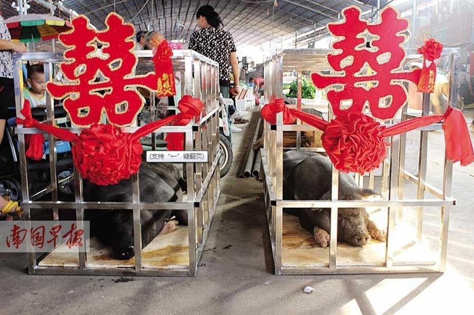 广西一猪肉铺开张 给两头猪办婚礼2014.9.16 - fpdlgswmx - fpdlgswmx的博客