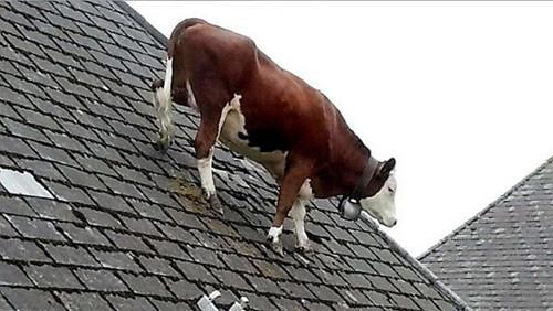 母牛离奇爬屋顶散步主人称其性格一直古怪(图)
