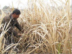 开远螺蛳塘村的甘蔗也已经绝收 王宗林 摄