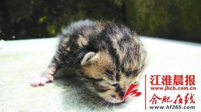 安徽村民捡到豹猫 长江以南难觅其踪影(图)