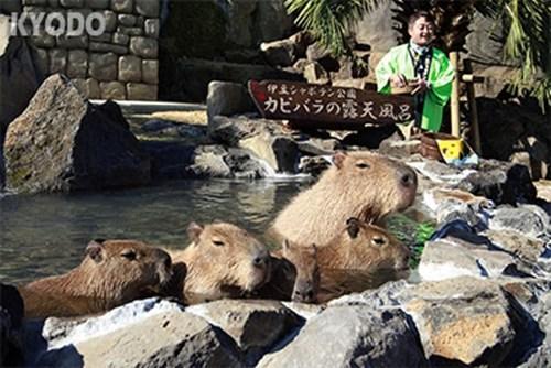 日本静冈县一公园现奇景水豚惬意泡温泉(图)