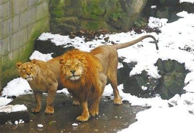 """杭州动物园回应""""雪球砸狮子"""":管理有疏漏"""
