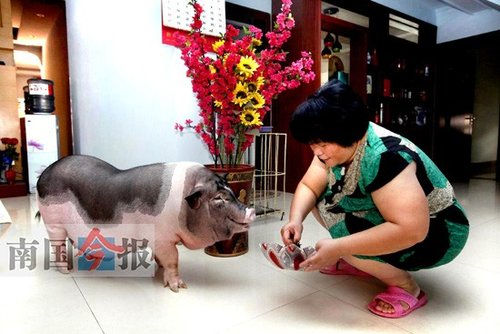 女子买宠物猪玩耍 半年后长成七八十公斤肥猪