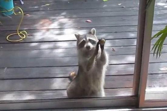 浣熊敲门为幼崽讨食