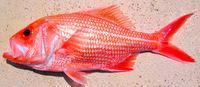澳洲一条红衫鱼已活84年创西澳鱼寿命纪录(图)