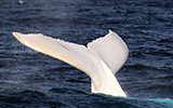 白色座头鲸现身悉尼海域 通体雪白似精灵