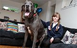 英国最大犬身长2米重如小象 每月吃千元狗粮