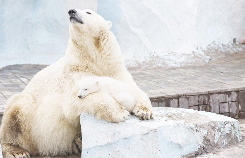 俄罗斯动物园北极熊母女相拥取暖