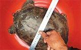 男子钓到8斤巨鳖:通体深绿色 年龄至少三五十岁