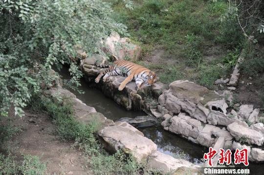 长春动植物园一东北虎遭群虎围攻致死园方详解经过