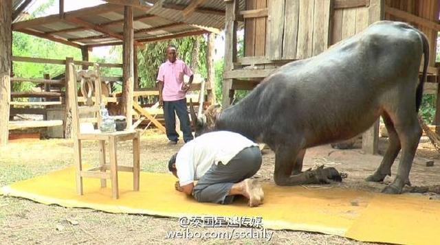 泰国男子训练水牛跪拜打坐 只为证明牛儿不笨