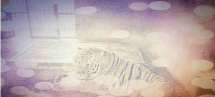 上海动物园饲养员被咬死 园方称不对老虎安乐死