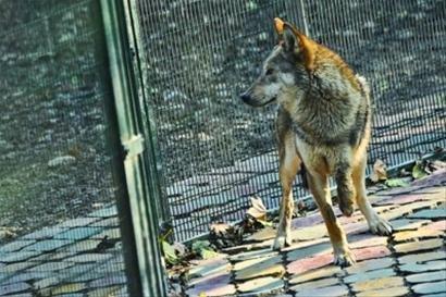 上海动物园回应虐兽 展出残疾狼是照顾习性
