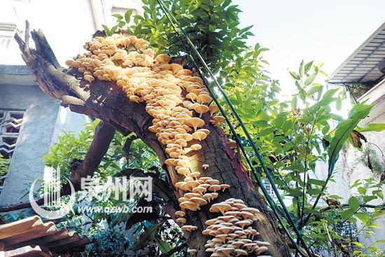 枯树长400多朵白蘑菇 另一半绿叶茂盛令人称奇