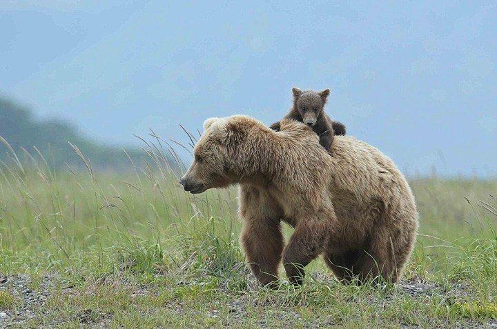 美国熊妈妈肩扛熊崽 温馨爆棚 - 海阔山遥 - .