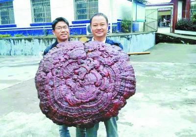 湘江源头发现特大野生灵芝 长11只脚重约5公斤