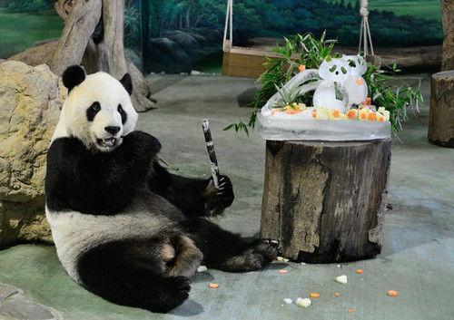台北动物园为大熊猫团团圆圆举办生日派对(图)