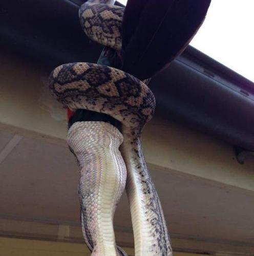 澳大利亚捕蛇人实拍蟒蛇生吞鹦鹉全过程