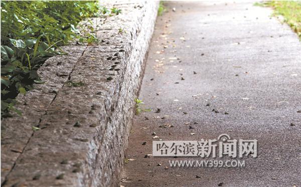 """哈尔滨雨后近万蟾蜍街头""""漫步"""""""