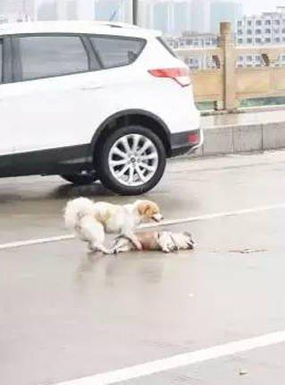 【图片新闻】狗狗被撞死 同伴在路中央相守不肯离去 - 耄耋顽童 - 耄耋顽童博客 欢迎光临指导