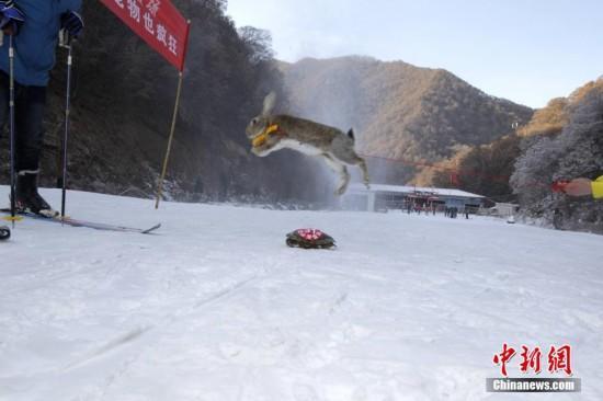 河南宠物滑雪赛鸭子兔子小猫小狗齐上阵(图)