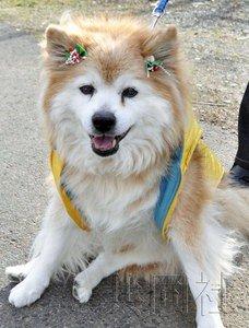 """10年12月被吉尼斯纪录认定为世界最长寿狗的""""Pusuke"""".-世界最"""