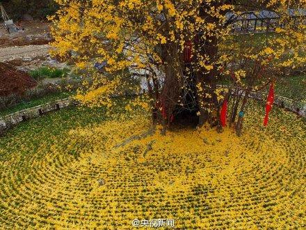 陕西4000年古银杏落叶 似黄金毯2015.11.22 - fpdlgswmx - fpdlgswmx的博客