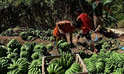 """外媒:菲律宾""""疏美亲华""""后香蕉销量飙升"""