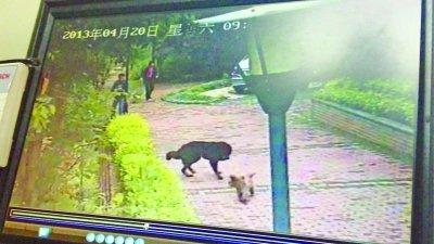 藏獒翻院墙一路咬伤20多人 小狗为护主与其周旋