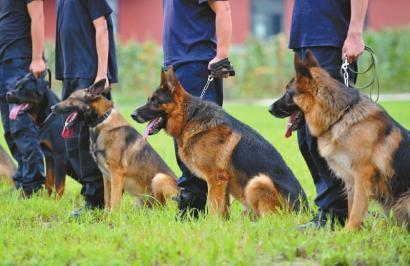 从今年起,四川公安的警犬要接受技术等级认证考试,分新手、熟手、专家三级。