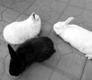 """河北邯郸一只母兔生下3只""""独耳兔"""""""