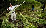 日本最大合法大麻农场 提取纤维制作服饰