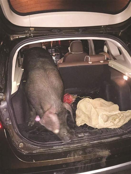 员工将SUV的后排座椅放下,把乌猪塞了进去。