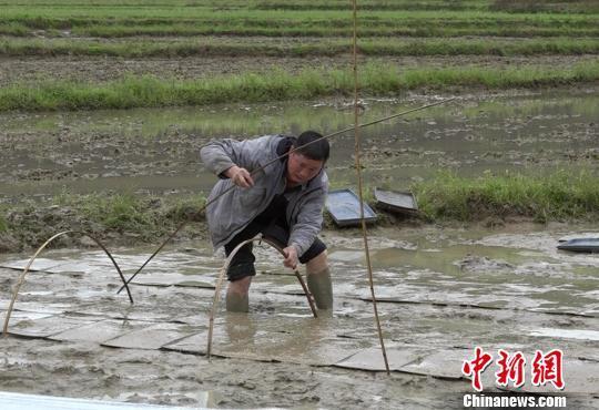 """""""种粮状元""""骆元波雨中抢播谷种。 徐志雄 摄"""