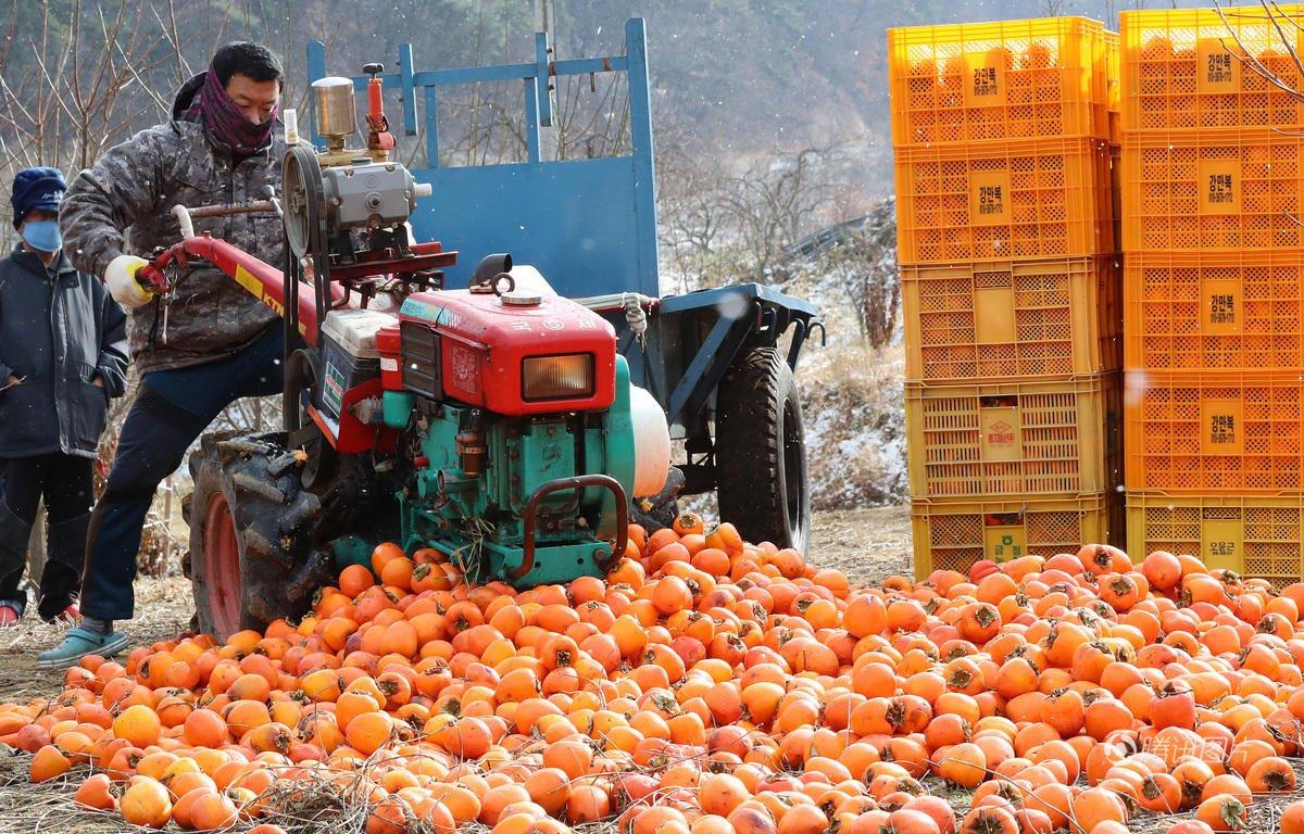 韩国柿子滞销 农民忍痛碾碎倒山沟