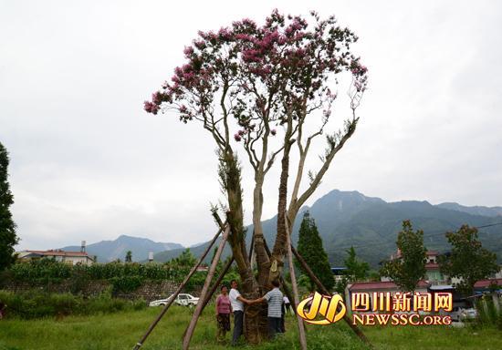 四川921岁古紫薇树开花 曾被盗卖至88万元(图)