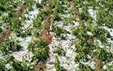陕西榆林遭冰雹袭击 农作物被砸一片狼藉
