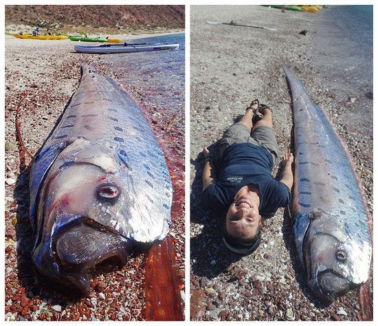 墨西哥海滩现巨大皇带鱼搁浅 个头比人大