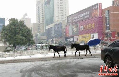 """长沙街头两骡子雪中漫步 网友戏称""""私奔"""""""