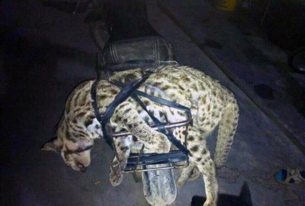 广西猎杀豹猫事件再发酵 警方称是否为家猫未确定