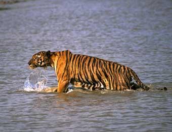 印度男子乘船钓鱼遭老虎偷袭 被拖走后失踪