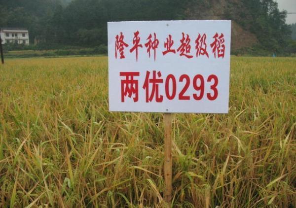 """农业部:安徽减产绝收稻种并非""""超级稻"""""""