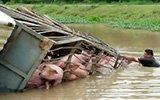 载100头猪大货车翻入水渠 60多头猪被淹死