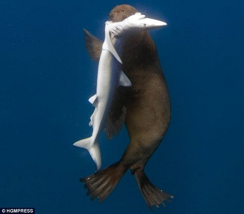 攝影師拍到凶猛海豹將五條鯊魚開膛破肚(組圖)