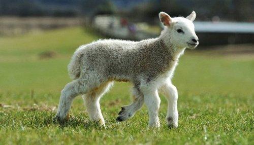 英国一农场诞生罕见五腿羊羔 能蹦跳自如(图)