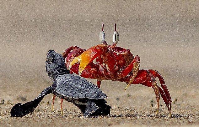 """沙蟹欺负小海龟走红 被称现实版""""蟹老板"""""""